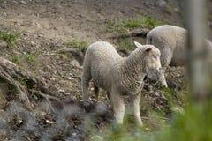 Schafe auf der Nordinsel von Neuseeland Lizenzfreies Stockfoto