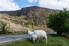 Schafe auf der Seite der Straße Lizenzfreie Stockfotografie