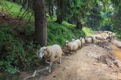 Schafe auf der Straße Stockfoto