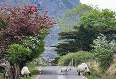 Schafe auf der Straße in ländlichem Irland Stockfoto
