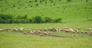 Schafe auf der Weide Stockfoto