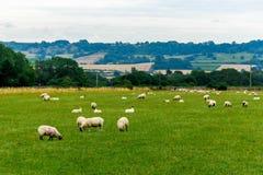 Schafe auf der Weide Lizenzfreie Stockbilder