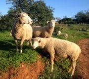 Schafe auf der Weide Stockfotografie