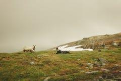 Schafe auf der Weide, lassend auf Felsenhügel weiden Lizenzfreies Stockbild