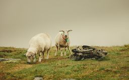 Schafe auf der Weide, lassend auf Felsenhügel weiden Stockbilder