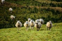 Schafe auf der Wiese Lizenzfreies Stockbild