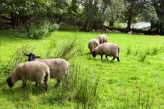 Schafe auf der Wiese Stockfotos