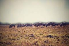 Schafe auf der Wiese Stockfotografie