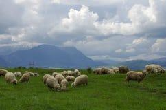 Schafe auf der Wiese mit Fagaras-Bergen auf Hintergrund, Southe Lizenzfreies Stockfoto