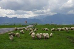 Schafe auf der Wiese nahe Straße mit Fagaras-Bergen auf backgrou Lizenzfreie Stockbilder