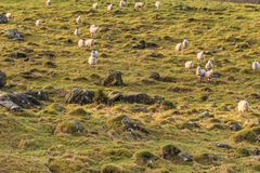 Schafe auf einem Abhang Stockfoto