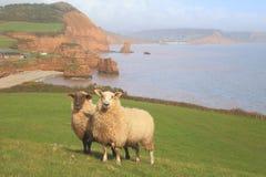 Schafe auf einem Ackerland Lizenzfreies Stockfoto