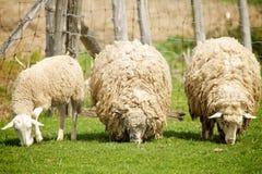 Schafe auf einem Bauernhof Lizenzfreies Stockfoto
