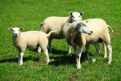 Schafe auf einem Bauernhof Stockfoto