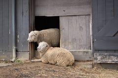 Schafe auf einem Bauernhof Stockfotos