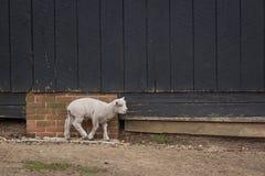 Schafe auf einem Bauernhof Stockfotografie
