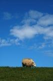 Schafe auf einem Damm Stockbilder