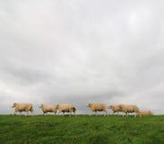 Schafe auf einem Damm Stockfotografie