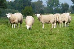 Schafe auf einem Dike Lizenzfreies Stockfoto