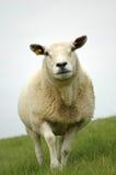 Schafe auf einem Dike Stockbild