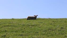 Schafe auf einem Dike stock video