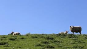 Schafe auf einem Dike stock video footage