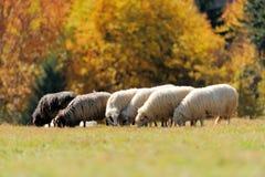 Schafe auf einem Feld Stockbild