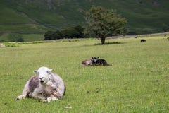 Schafe auf einem Feld Stockbilder