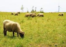 Schafe auf einem Feld mit Windmühlen Lizenzfreie Stockbilder