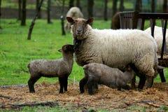 Schafe auf einem Gebiet lizenzfreies stockbild
