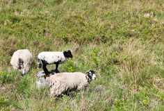 Schafe auf einem Gebiet Stockfotos