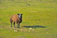 Schafe auf einem Gebiet Stockfoto
