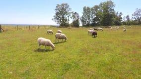 Schafe auf einem Gebiet stock footage