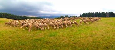 Schafe auf einem Gebiet in Frankreich lizenzfreies stockfoto