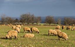 Schafe auf einem Gebiet im Winter Stockfotos