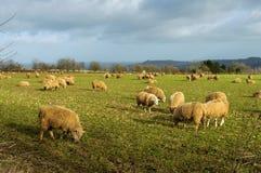 Schafe auf einem Gebiet im Winter Stockfotografie