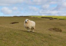 Schafe auf einem Gebiet mit wolligem Vlies beschichten Stockbilder