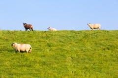 Schafe auf einem Graben auf der Nordsee fahren, zwischen Bensersiel und Neuharlingersiel, Deutschland die Küste entlang Stockbild