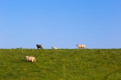 Schafe auf einem Graben auf der Nordsee fahren, zwischen Bensersiel und Neuharlingersiel, Deutschland die Küste entlang Lizenzfreie Stockfotos