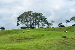 Schafe auf einem Hügel stockbilder