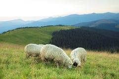 Schafe auf einem Hügel Stockbild