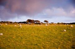 Schafe auf einem Waliser-Hügel Stockbilder