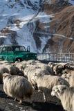 Schafe auf einer Gebirgsstraße stockfotografie