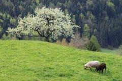 Schafe auf einer Gebirgsweide Stockfotos