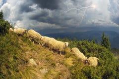 Schafe auf einer Sommerweide Stockfotografie