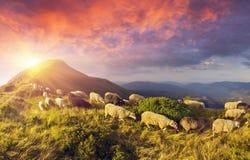 Schafe auf einer Sommerweide Stockfotos