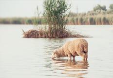 Schafe auf einer Wasserstelle Trinkwasser der Schafe auf dem Ufer von Stockfotografie