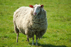 Schafe auf einer Weide Stockfoto