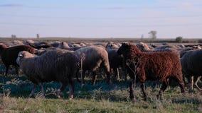 Schafe auf einer Weide an einem bewölkten Herbsttag stock video footage