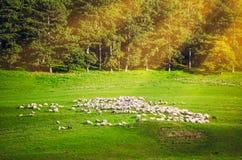 Schafe auf einer Weide mit Strahlen des hellen Sonnenscheins Lizenzfreies Stockbild